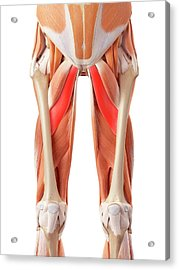 Muscular System Of Legs Acrylic Print by Sebastian Kaulitzki/science Photo Library