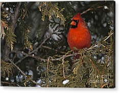 Northern Cardinal Acrylic Print by Michael Cummings