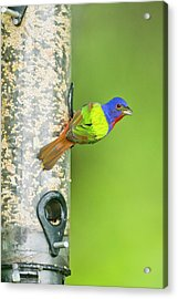Painted Bunting (passerina Ciris Acrylic Print by Larry Ditto