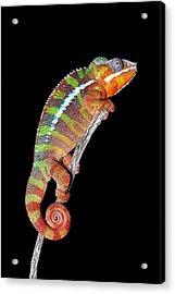 Panther Chameleon Acrylic Print by Robert Jensen