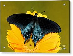 Pipevine Swallowtail Butterfly Acrylic Print by Millard H. Sharp
