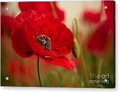 Poppy Dream Acrylic Print by Nailia Schwarz