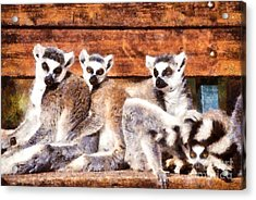 Ring Tailed Lemurs Acrylic Print