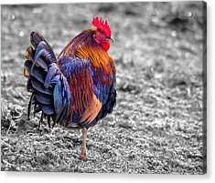 Rooster Acrylic Print by Brian Stevens