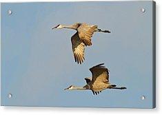 Sandhill Cranes (grus Canadensis Acrylic Print