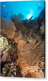 Sea Fan And Tropical Reef In The Red Sea. Acrylic Print by Stephan Kerkhofs
