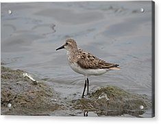 Acrylic Print featuring the photograph Semipalmated Sandpiper by James Petersen