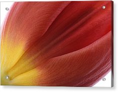 Tulip Acrylic Print by Mark Johnson