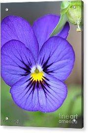 Viola Named Sorbet Blue Heaven Jump-up Acrylic Print by J McCombie