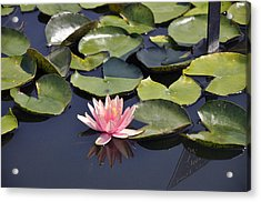 Water Lily Acrylic Print by Dottie Branchreeves
