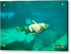 Westslope Cutthroat Trout Acrylic Print