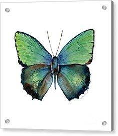 52 Arhopala Aurea Butterfly Acrylic Print by Amy Kirkpatrick