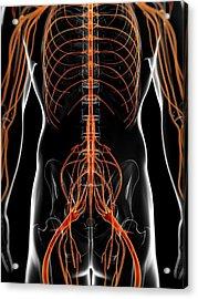Human Nervous System Acrylic Print by Sebastian Kaulitzki