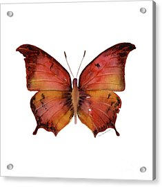 58 Andria Butterfly Acrylic Print by Amy Kirkpatrick
