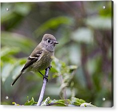 Alder Flycatcher Acrylic Print by Doug Lloyd