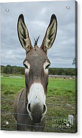 Animal Personalities Friendly Quirky Donkey Face Close Up Acrylic Print by Jani Bryson