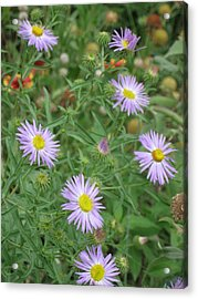 6 Asters Left Acrylic Print