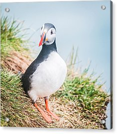 Atlantic Puffin Fratercula Arctica Acrylic Print by Panoramic Images