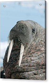 Atlantic Walrus Acrylic Print