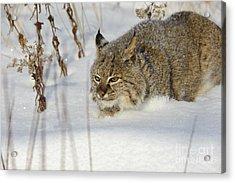 Bobcat Acrylic Print by John Shaw