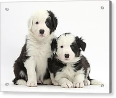 Border Collie Pups Acrylic Print by Mark Taylor
