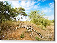 Cheetah - South Africa Acrylic Print by Birdimages Photography