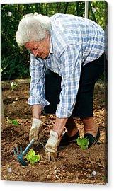 Elderly Lady Gardening Acrylic Print by Mauro Fermariello/science Photo Library