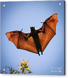 Flying Fox Acrylic Print