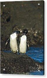 Galapagos Penguins Acrylic Print