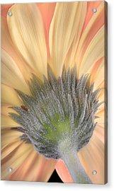 Gerber Daisy Acrylic Print by Robert Jensen