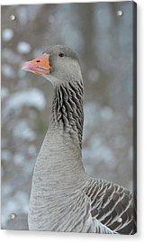 Graylag Goose (anser Anser Acrylic Print