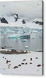 Icebergs Off Curverville Island Acrylic Print by Ashley Cooper