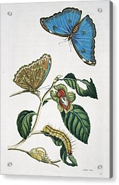 Insects Of Surinam, 18th Century Acrylic Print by Science Photo Library