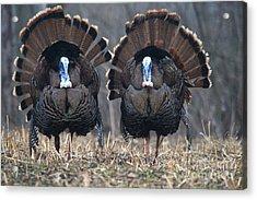 Jake Eastern Wild Turkeys Acrylic Print
