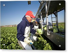 Lettuce Harvest Acrylic Print