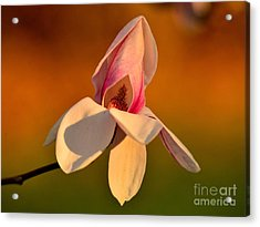 Magnolia Acrylic Print by Luminita Suse