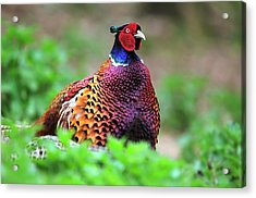 Male Common Pheasant Acrylic Print by Colin Varndell