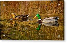 Mallard Ducks Acrylic Print by Brian Stevens