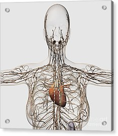 Medical Illustration Of Female Acrylic Print by Stocktrek Images