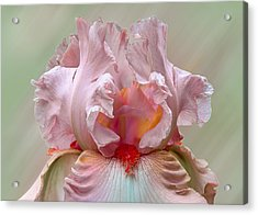 Acrylic Print featuring the photograph Pink Electrabrite Bearded Iris by Patti Deters