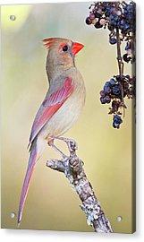 Northern Cardinal (cardinalis Cardinalis Acrylic Print by Larry Ditto