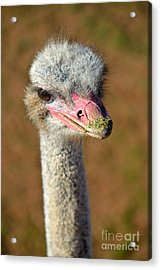 Ostrich Acrylic Print by George Atsametakis