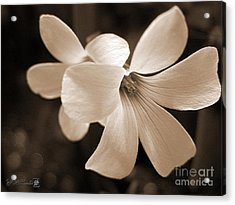 Oxalis Triangularis Or Burgundy Shamrock Acrylic Print