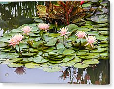 6 Pink Waterlilies Acrylic Print by Jill Bell