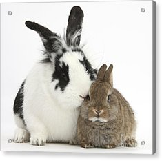 Rabbits Acrylic Print