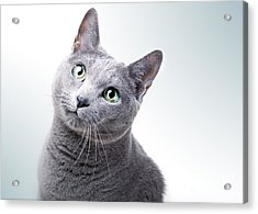 Russian Blue Cat Acrylic Print