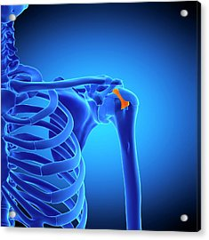 Shoulder Ligament Acrylic Print by Sebastian Kaulitzki/science Photo Library
