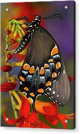 Spicebush Swallowtail, Papilio Troilus Acrylic Print by Darrell Gulin