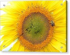 Sunflower Acrylic Print by Dacia Doroff