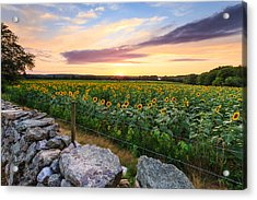Sunflower Sunset Acrylic Print